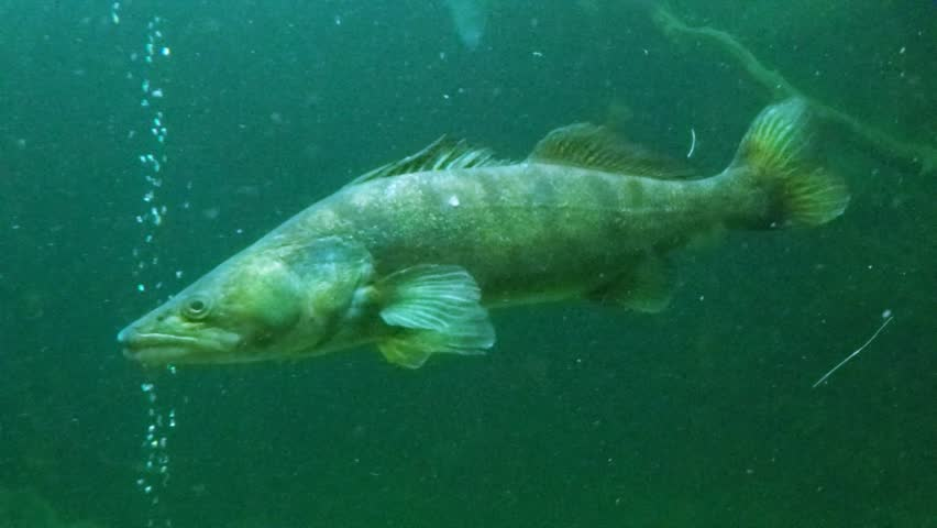 Huge Walleye, Zander or Pike-perch (Sander lucioperca). Underwater video of fresh water fish. Animals in nature.
