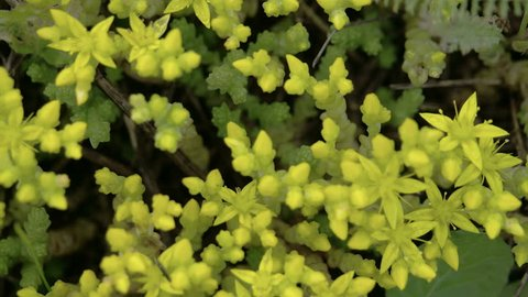 Aerial look of the yellow flowers of Stonecrops plant and herbs on the garden