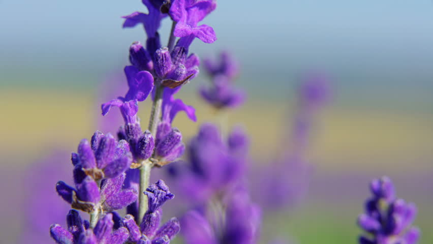 Stock Video Of Extreme Close Up Of Lavender Flowers -7080