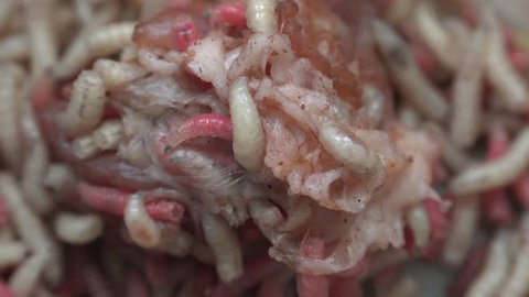 Maggots with meat, 4k, uhd, speed motion.Fat insect larvae,larva of meal worm.Bait for fishing rod, worms for fishing hook, food for fish