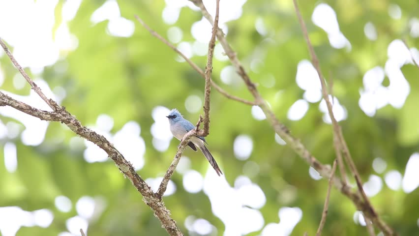 Header of African Blue Flycatcher