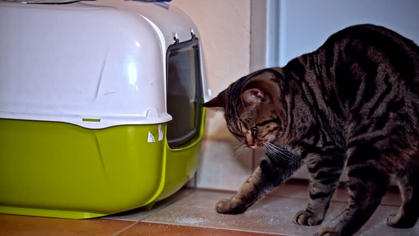 Cat put head inside toilet box. Close up view of British breed kitten look carefully inside own toiled box. Green and white box with swinging doors.   Shutterstock HD Video #17474458