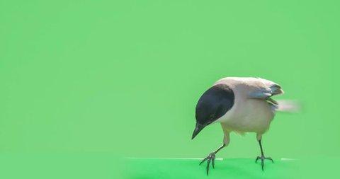 blue bird in chroma key background