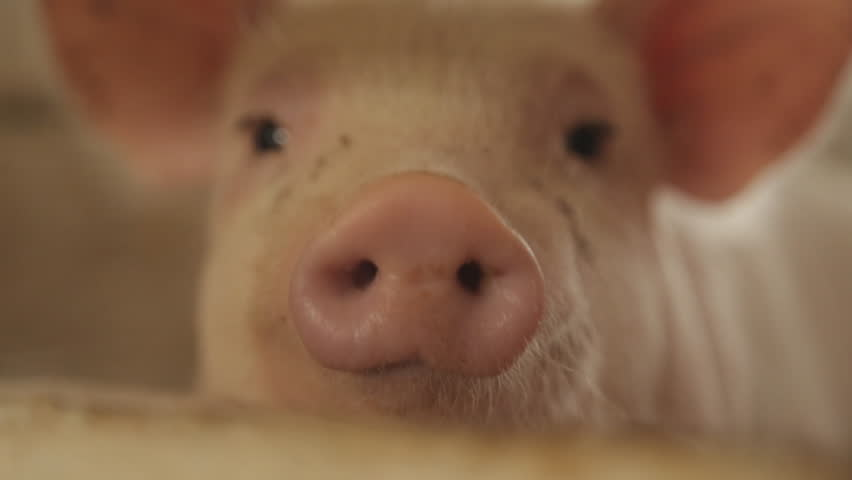 Pig nose, eyes. Focus is on nose. Shallow depth of field.