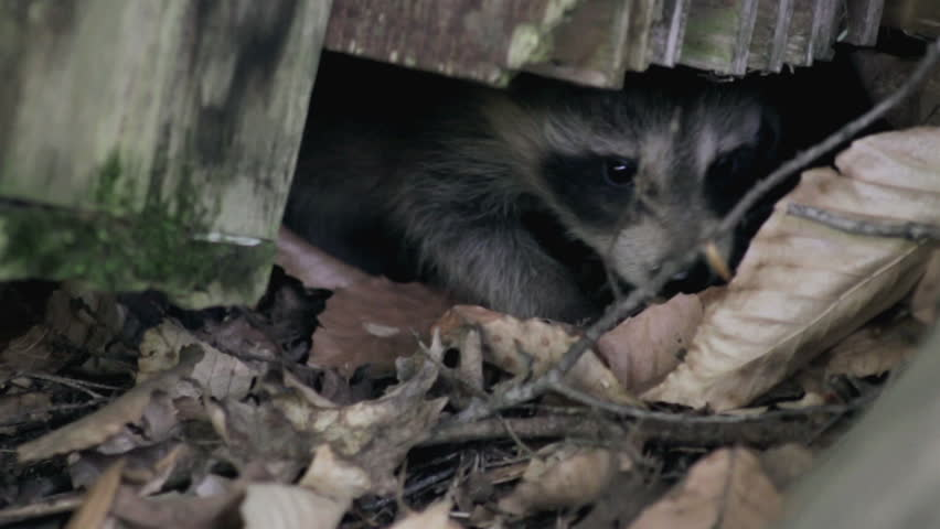 two baby raccoons poke their noses out from under a log