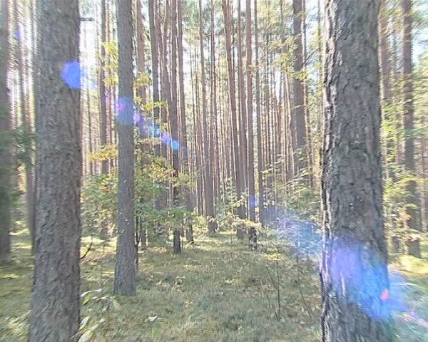 Sunlight penetrating through dense coniferous forest trunks.
