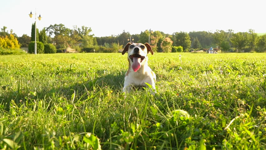 Summer green grass relaxed small dog Jack Russell terrier playing outside. Back to nature. Slow motion video footage. Sunny mood atmosphere.  #17630068
