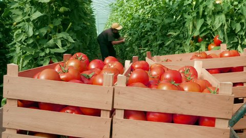 Tomatoes harvest in greenhouse, woman picking tomato in background, workers bring and put wooden crates with sorted ripe tomatoes, close up, closing footage, daylight.