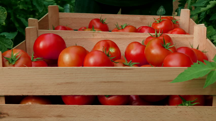 Worker putting ripe red tomatoes in wooden boxes at greenhouse, close up, daylight. Farmer picking fresh and organic fruits and sorting in crates, harvesting of tomatoes in greenhouse.