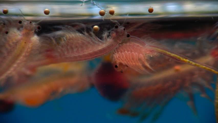 Artemia salina is a species of brine shrimp. Kuyalnik Estuary, Black Sea, Ukraine | Shutterstock HD Video #17640568