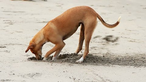 Dog digging sand on the beach