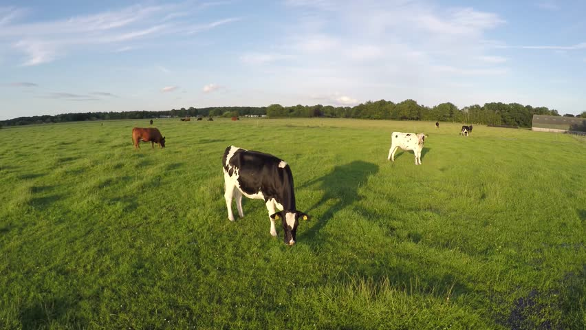 Drone aerial flying low and slow over grass field with Holstein and Aberdeen Angus cows eating and walking over greenfield blue sky background friendly animals not worried about the UAV moving over 4k