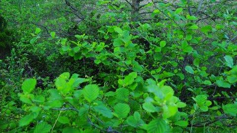 Alder tree in springtime