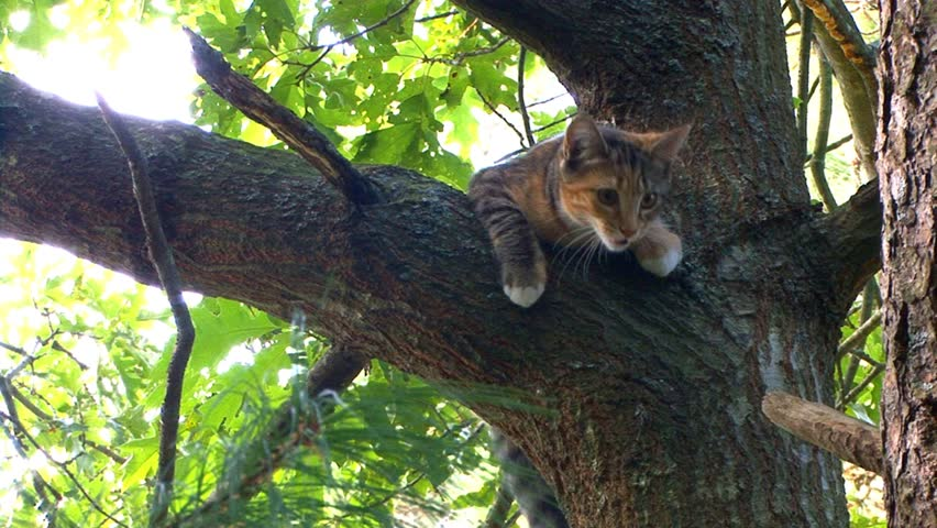 Kitten in tree builds courage to climbs down to lower branch, non gracefully