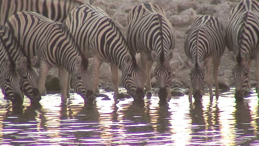 Line of Zebra Drinking in Stock Footage Video (100% Royalty-free) 1769828 |  Shutterstock