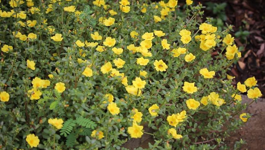 Stock video of bee and common purslane flower or 17698858 stock video of bee and common purslane flower or 17698858 shutterstock mightylinksfo