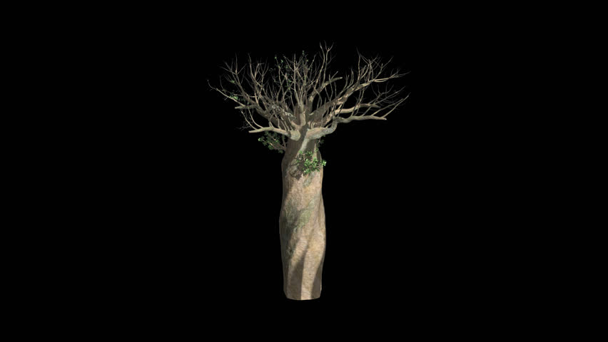 Madagascan Baobab Tree Growing with Alpha Channel Plant Growth Animation