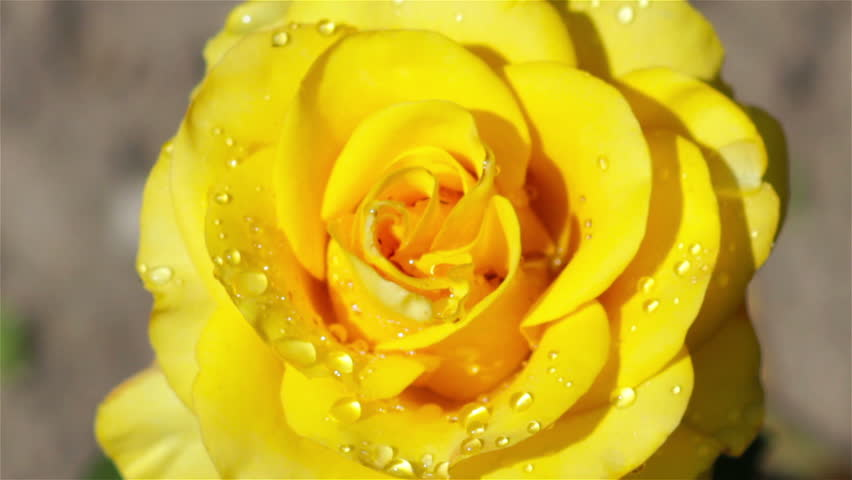 Image result for pictures of rose with dew