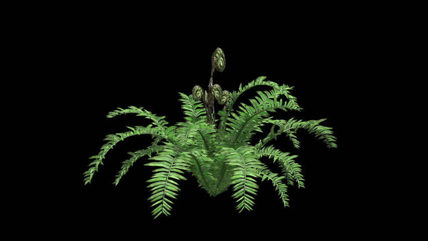 Boston Fern Tree Growing with Alpha Channel Plant Growth Animation