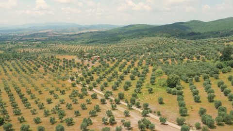 Fascinating Aerial Drone shot of a vineyard of olive trees