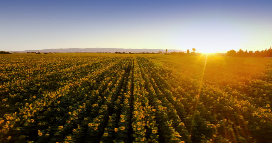 4k Aerial of rows of Sunflowers at sunset, flying perpendicular to rows.