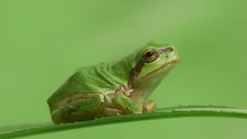 Japanese Tree Frog (Hyla japonica)   Shutterstock HD Video #17982688
