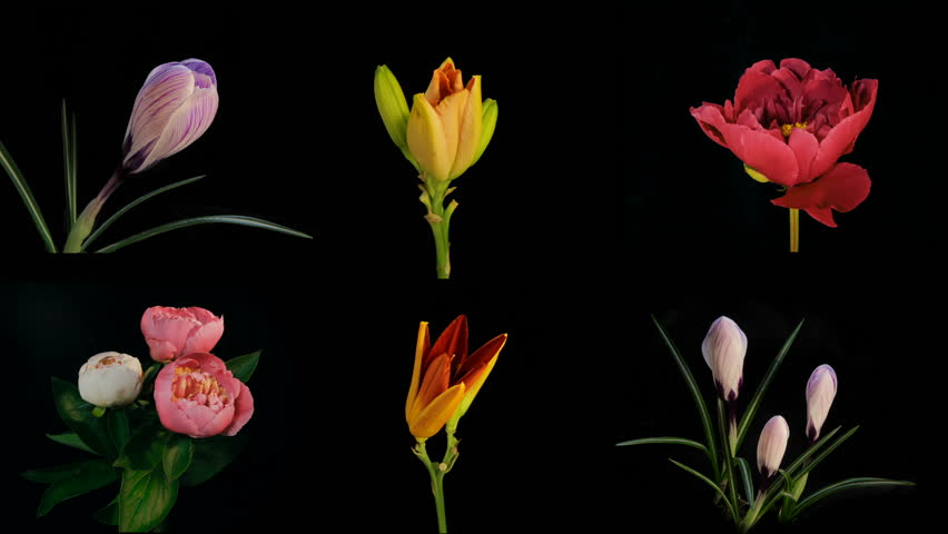 Composition of many blooming flowers Timelapse 4k