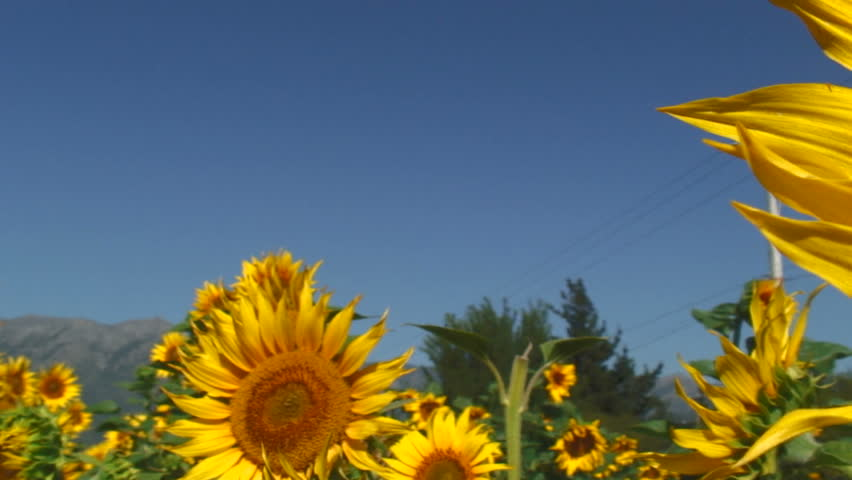 Panning View Of Beautiful Sunflower Farm, San Fernando