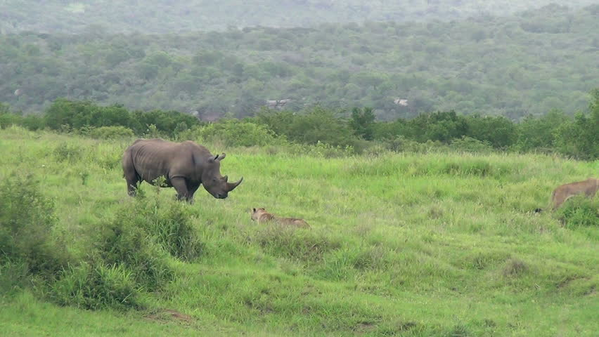 Rhino chases lion away
