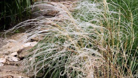 A fluffy bush of the stipa, feather grass, needle grass or spear grass swaying in the wind