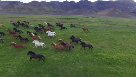 Aerial view of Icelandic horses in summer pasture