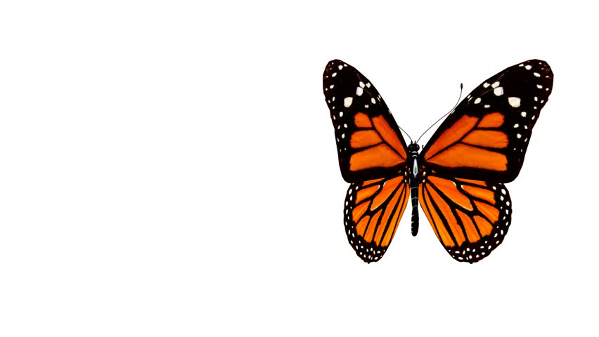 butterfly animation stock footage video 159100 shutterstock