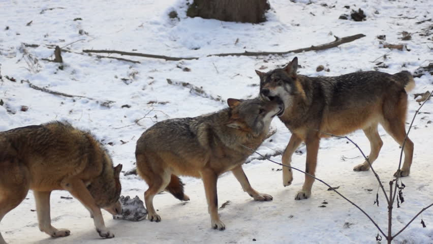 wolves playing and move through a forested area winter