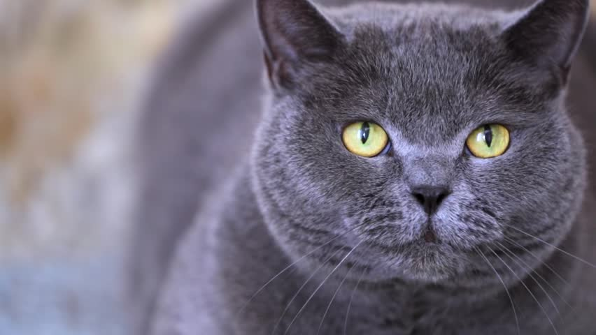 Closeup view of british shorthair grey cat with beautiful green eyes looking in the camera and hissing.
