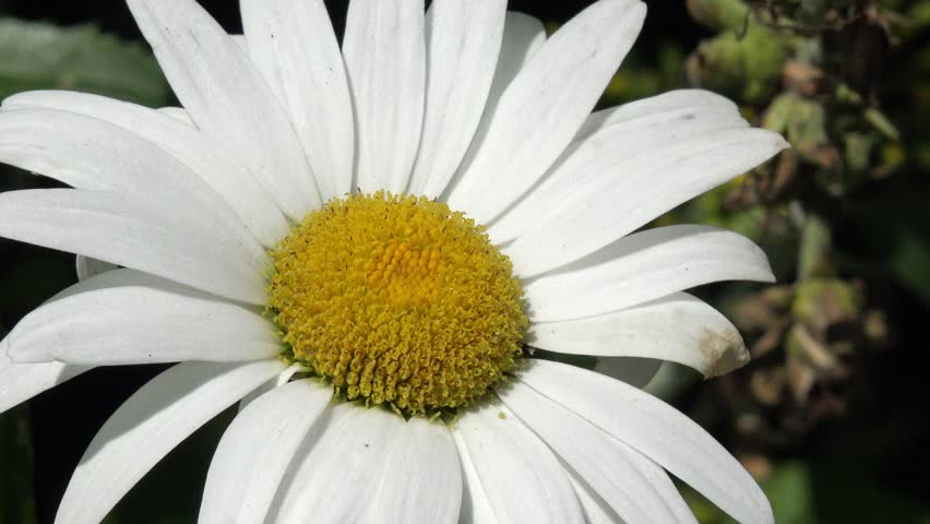 Bee on daisy in the nature | Shutterstock HD Video #18353458