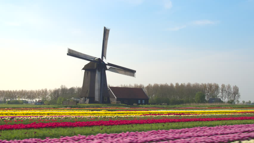 AERIAL, CLOSE UP: Flying next to beautiful colorful rows of flowering tulips on big floricultural farmland in front of traditional antique wooden windmill at Keukenhof gardens, Amsterdam, Netherlands | Shutterstock HD Video #18401227
