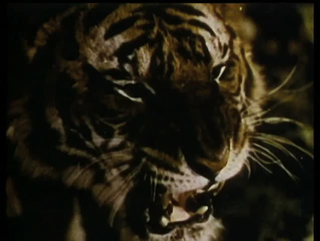 Close-up of growling tiger