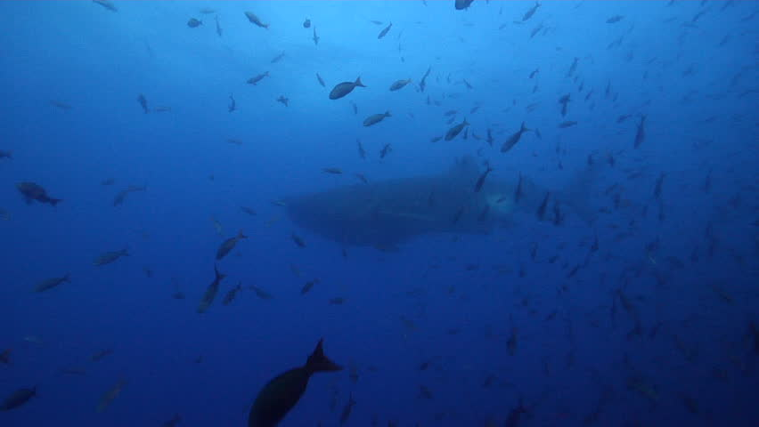 Whale shark swimming in bluewater, Rhincodon typus HD, UP25438
