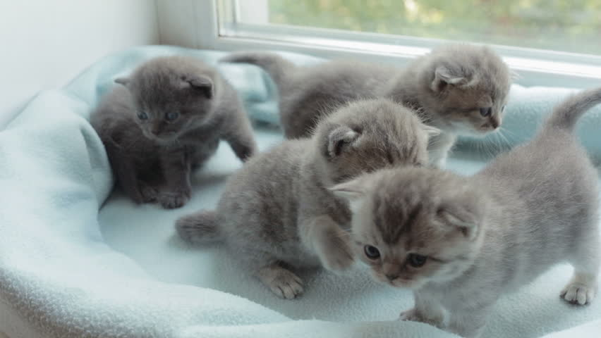 Funny Blotched tabby kittens breed Scottish Fold.
