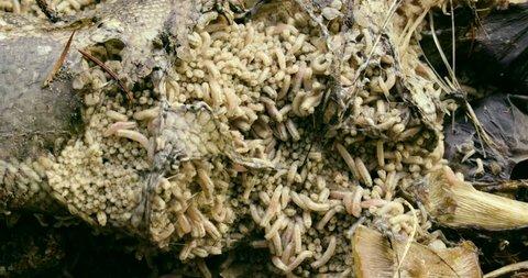 [Close up maggot pile 001]Close up of a pile of maggots.