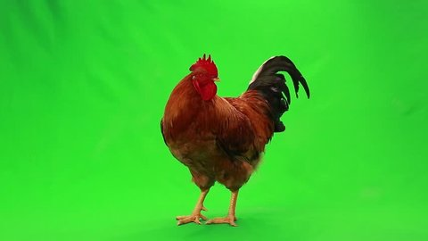 singing rooster on  green screen