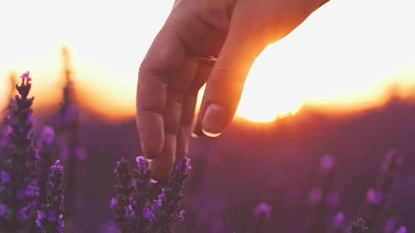 Close-up of woman's hand running through sunny lavender field. SLOW MOTION 120 fps. Girl's hand touching purple lavender flowers closeup. Plateau Valensole, Provence, South France, Europe. Lens Flare | Shutterstock HD Video #18570518