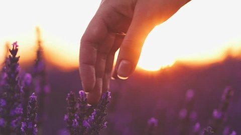 Close-up of woman's hand running through sunny lavender field. SLOW MOTION 120 fps. Girl's hand touching purple lavender flowers closeup. Plateau Valensole, Provence, South France, Europe. Lens Flare