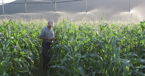 4K view of farmer using digital tablet and inspecting an irrigated cornfield