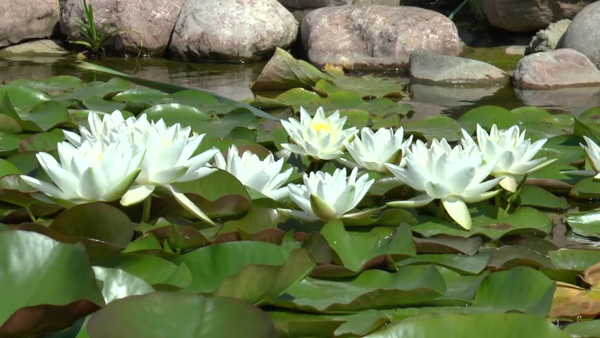 Footage Of Garden Pond With White Lotus