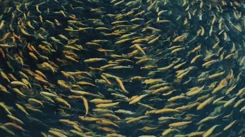 Swimming round fish amber yellow color in farm.