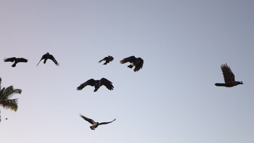 CLOSE UP, SLOW MOTION: A big group of many black ravens flocking against clear cloudless purple sunrise sky. Amazing crow birds flying near lush green palm tree canopy at beautiful early morning