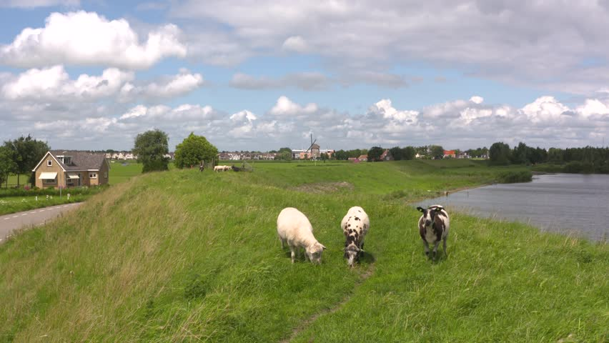 Sheep graze on a dike in The Netherlands. Skyline Volendam village + windmill in background. Many dikes are covered with grass and maintained by grazing sheep. VOLENDAM, GOUWZEE, THE NETHERLANDS.