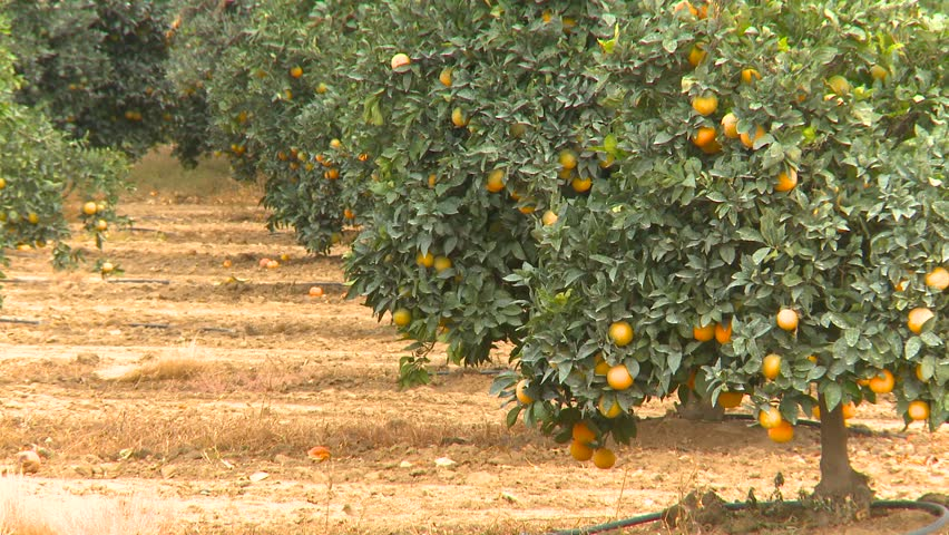 lemon grove hindu dating site The lemon grove is not the book i expected it to be no better no worse, just not what i expected set in mallorca, it is the tale of a summer in the sunshine, but though they've holidayed.