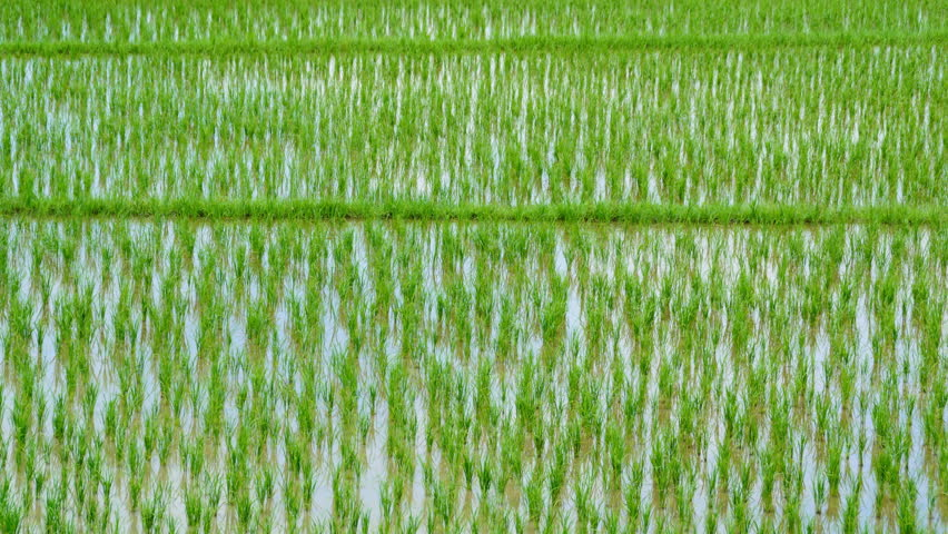 90 Days Rice Sprout Growing Up In Farm 4K Time Lapse